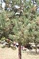 Pinus nigra, Park Čair, Serbia (1).jpg