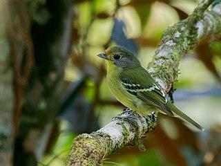 Wing-barred piprites species of bird