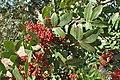 Pistacia terebinthus kz01.jpg