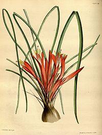 Pitcairnia heterophylla Paxton 86.jpg