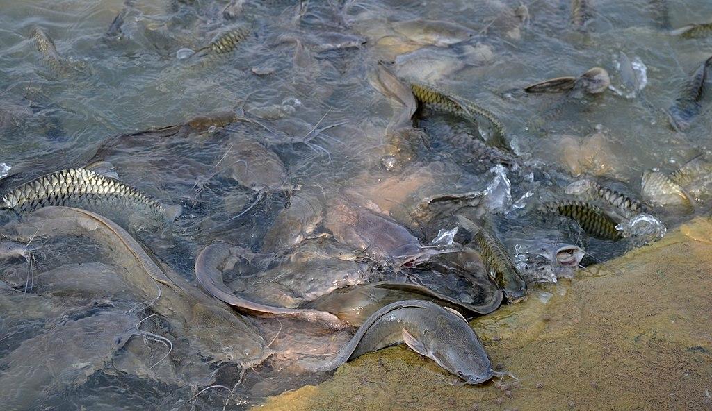 Catfish Habitat | File Pla Duk And Pla Taphian Jpg Wikimedia Commons