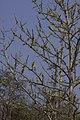 Plants Dillenia pentagyna IMG 8227.jpg