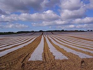 Plasticulture - Plastic mulch in a field near Merstone, Isle of Wight, UK