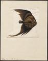Platax vespertilio - 1700-1880 - Print - Iconographia Zoologica - Special Collections University of Amsterdam - UBA01 IZ13500487.tif
