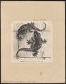 Platydactylus mauritanicus - 1700-1880 - Print - Iconographia Zoologica - Special Collections University of Amsterdam - UBA01 IZ12300089.tif