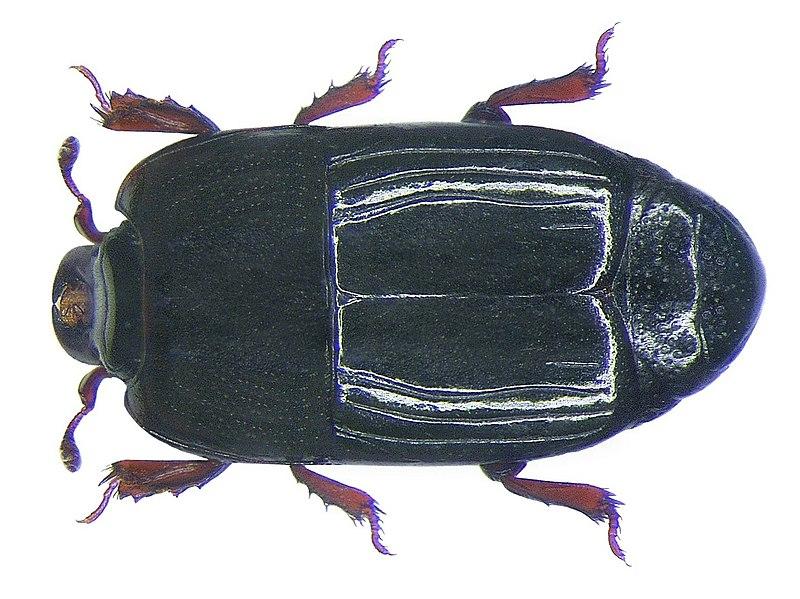 File:Platysoma moluccanum Marseul, 1864 (3423959055).jpg