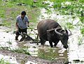 Plowing paddy field with a water buffalo.jpg