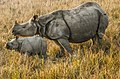 Pobitora Wildlife Sanctuary India (202398045).jpeg