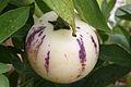 Poire melon, jardins du muséum de Toulouse 02.JPG
