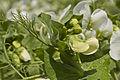 Pois d'hiver ISARD (précoce,jaune) Agri-Obtentions-7-cliche Jean Weber (24001217641).jpg