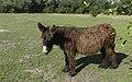 Poitou-Esel im Tierpark Arche Warder (2).jpg