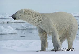 Ursa Major - H. A. Rey's alternative asterism for Ursa Major can be said to give it the longer head and neck of a polar bear, as seen in this photo, from the left side.