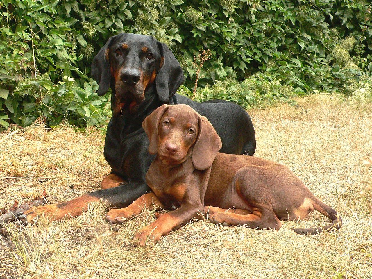Rodzaje psów myśliwskich