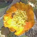 Pollination - Honey bee (Apis mellifera) and Opuntia sp. flower.jpg