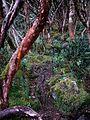Polylepis forest San Luis (15467679772).jpg