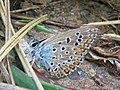Polyommatus icarus.jpeg