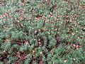 Polytrichium commune 02.JPG