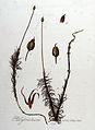 Polytrichum commune — Flora Batava — Volume v8.jpg