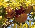 Pomegranates (4064035632).jpg