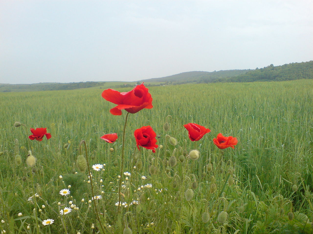 http://upload.wikimedia.org/wikipedia/commons/thumb/5/5d/Poppy_in_wheat_field.JPG/1280px-Poppy_in_wheat_field.JPG
