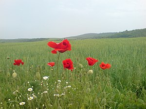 Poppy in wheat field.JPG