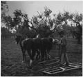 Portugal. In Barquinha, an olive grove, and the land being prepared for wheat planting. The land is hard, and the... - NARA - 541754.tif