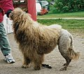 Portuguese water dog.jpg