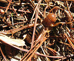 Potato bug cropped 1.jpg