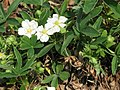 Potentilla alba close-up2.jpg