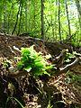 Povlen - Srednji Povlen - reka Cetina - Flora 3.jpg