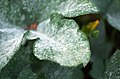 Powdery mildew on pumpkin leaves 1.jpg