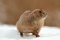 Prairiedog in the snow (4210904598) (2).jpg
