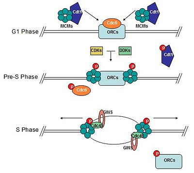 eukaryotic dna replication wikipedia G2 Phase of Mitosis diagram of the formation of the pre replicative plex transforming into an active replisome mcm 2 7 plex loads onto dna at replication origins during