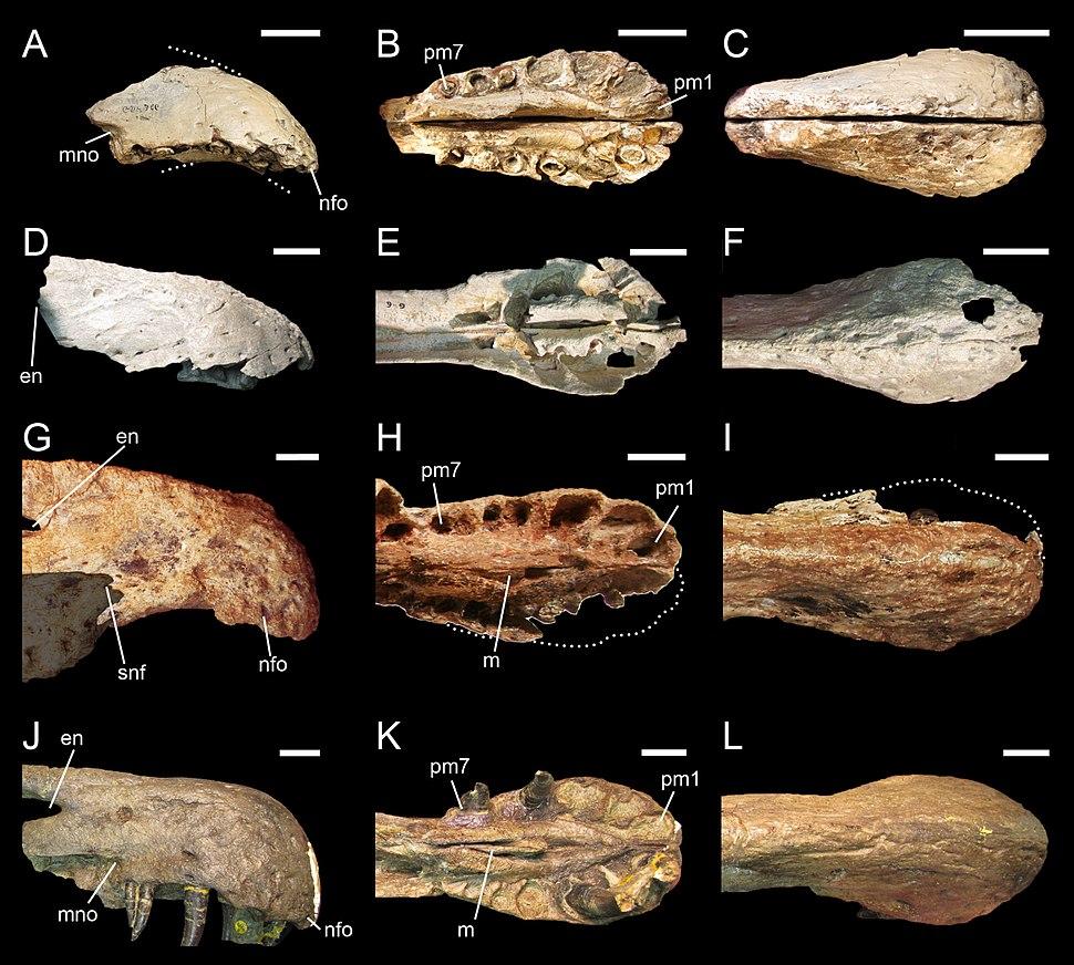 Premaxillae of Baryonychinae