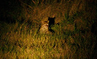 Fishing cat - Fishing cat photographed in Nepal