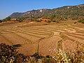 Production of Rice terraces around Kalaw (Myanmar 2013) (11773349926).jpg