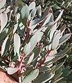 Protea sulphurea nicky iNat20174151c.jpg
