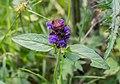 Prunella vulgaris in St Jean d'Aulps (4).jpg