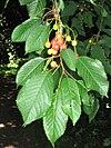 Cseresznye termése