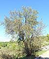 Prunus dulcis - Jardín Botánico de Barcelona - Barcelona, Spain - DSC09244.JPG