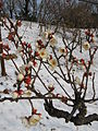 Prunus mume Tojibai2.jpg