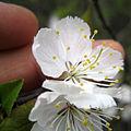 Prunus nigra 5444372.jpg