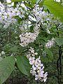 Prunus padus PL.jpg