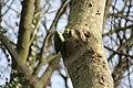 Psittacula krameri -Parc de Sceaux, Paris, France -nest-8 (3).jpg