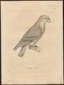 Psittacus mitratus - 1700-1880 - Print - Iconographia Zoologica - Special Collections University of Amsterdam - UBA01 IZ18600081.tif