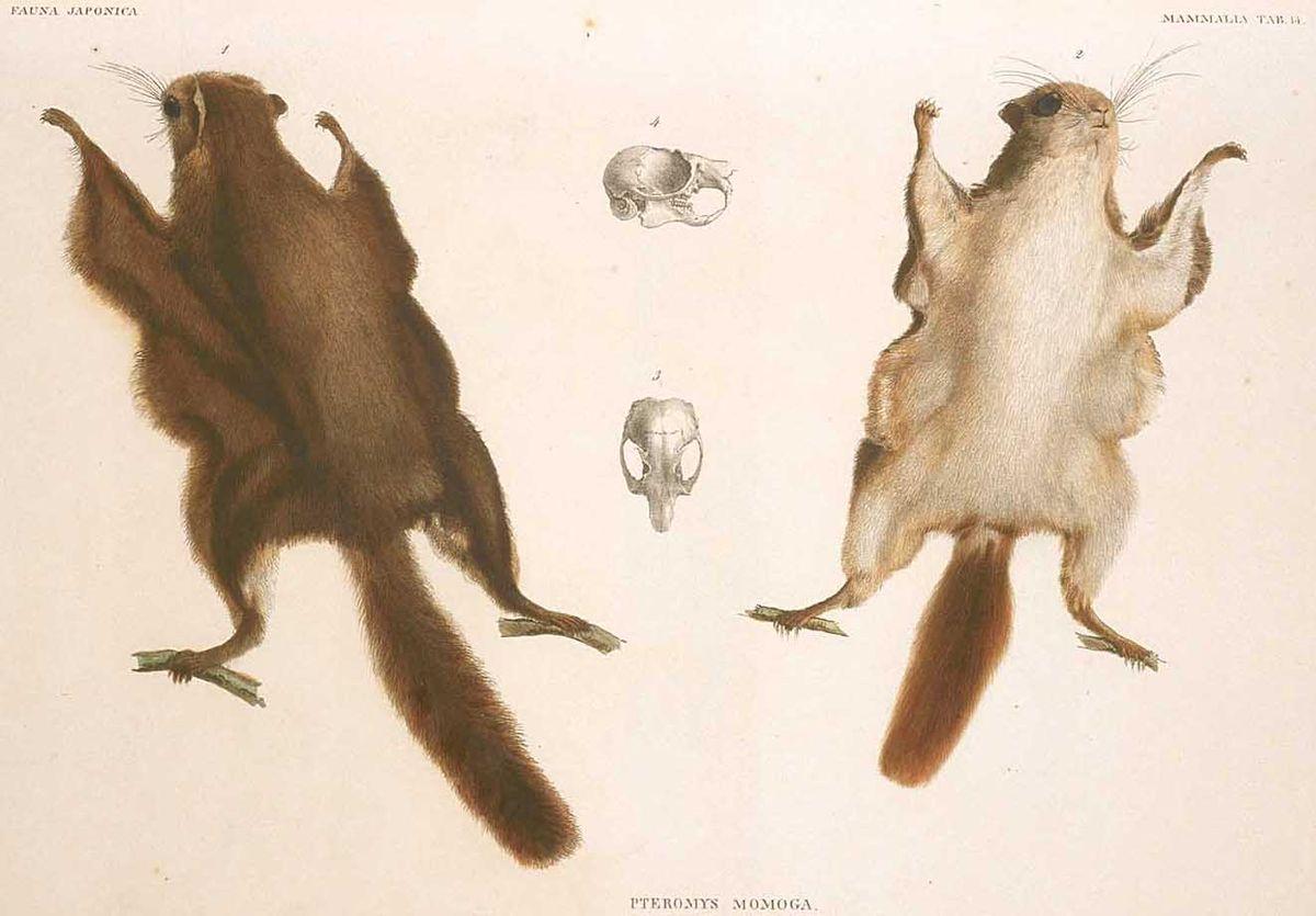 Japanese Dwarf Flying Squirrel Wikipedia