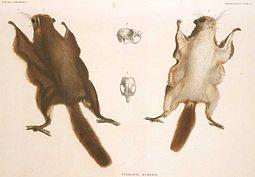 Pteromys momonga fauna japonica.jpg
