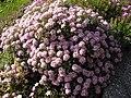 Ptilotrichium spinosum 'roseum' 4.JPG
