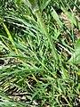 Pulsatilla pratensis (subsp. nigricans) sl21.jpg