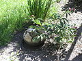 Purchawica olbrzymia VI 2005.jpg